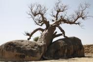 Baobab tree, Agadi, Blue Nile Province (Credit: Aziz Magid)