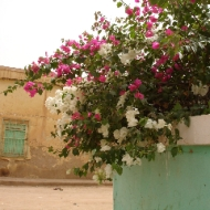 Omdurman - bourgainvillea. (Credit: Rod Usher)